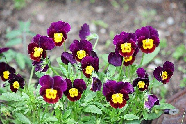 fialové macešky