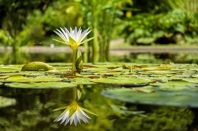 květ leknínu.jpg